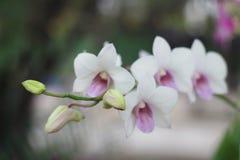 Weiße Orchideenblume im Gartenunschärfehintergrund, Unschärfe der weißen Blume Stockfotos
