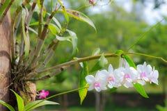 Weiße Orchideenblume mit grünem Blatt Stockfotos