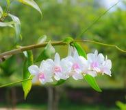 Weiße Orchideenblume mit grünem Blatt Stockbilder