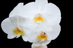 Weiße Orchideenblumen auf einem schwarzen Hintergrund Stockbild