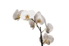 Weiße Orchideenblumen lokalisiert auf einem weißen Hintergrund Stockfotos