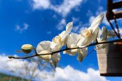 Weiße Orchideenblumen mit Hintergrund des blauen Himmels Lizenzfreie Stockfotos