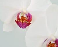 Weiße Orchideennahaufnahme mit purpurrotem Mitteldetail Stockbild