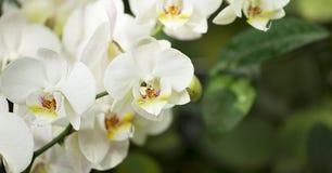 Weiße orhids auf dem banch auf dem grünen Hintergrund Stockbilder
