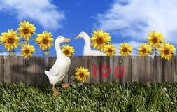 Weiße Pekin Enten-Valentinsgruß-Paare Stockfotografie