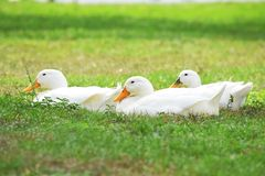 Weiße Peking-Enten Stockbild
