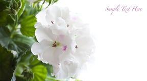 Weiße Pelargonie Stockfotos