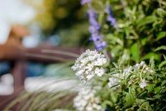 Weiße Pelargonie draußen stockfotografie