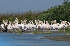 Weiße Pelikan-Kolonie stockfotos