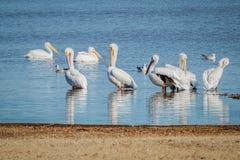 Weiße Pelikane auf See Lizenzfreies Stockfoto