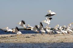 Weiße Pelikane auf Strand Stockfoto