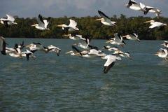 Weiße Pelikane, die über Golf von Mexiko fliegen Lizenzfreies Stockfoto