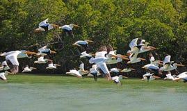 Weiße Pelikane, die über Wasser fliegen Stockfotografie