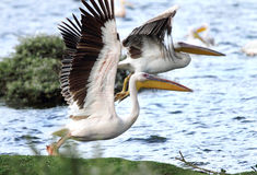 Weiße Pelikane, die Flügel verbreiten Stockfotografie
