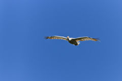 Weiße Pelikane (Pelecanus onocrotalus) im Flug Lizenzfreie Stockfotos