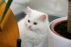 Weiße persische Katze, die zwischen Gitarre und Blumentopf sich versteckt lizenzfreie stockfotografie