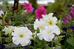 Weiße Petunien Stockfoto
