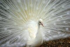 Weiße Pfau-Nahaufnahme Stockbild