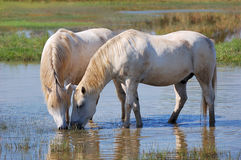 Weiße Pferde Stockbild
