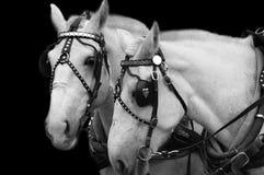 Weiße Pferde (B&W Bild) stockbild