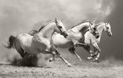 Weiße Pferde im Staub Stockbilder