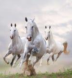Weiße Pferde im Staub Lizenzfreies Stockfoto