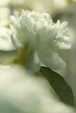 Weiße Pfingstrosenblumen Lizenzfreie Stockbilder