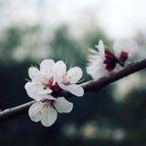 Weiße Pflaumeblumen Blühender Bush Frühling Lizenzfreies Stockfoto