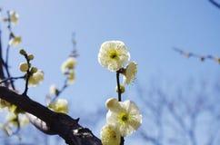 Weiße Pflaumenblüte Lizenzfreie Stockfotografie