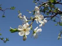 Weiße Pflaumenblüte Lizenzfreie Stockfotos