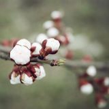 Weiße Pflaumenknospen Blühender Bush Frühling Lizenzfreie Stockfotos