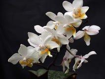Weiße Phaelenopsis-Blumen Lizenzfreies Stockbild