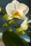 Weiße Phalaenopsis-Orchidee Stockfotografie