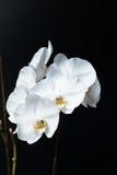Weiße Phalaenopsisorchidee Lizenzfreies Stockbild