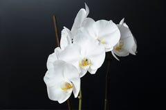 Weiße Phalaenopsisorchidee Stockfotografie