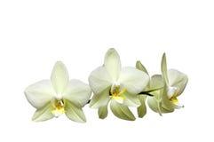 Weiße Orchidee Lizenzfreies Stockbild