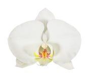 Weiße Phalaenopsisorchideenblume lokalisiert auf Weiß Lizenzfreies Stockbild