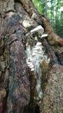 Weiße Pilze Stockfoto