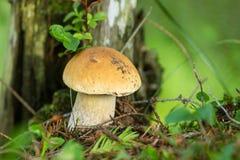 Weiße Pilze in den Karpatenbergen Stockfotos