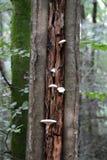 Weiße Pilze, die auf Baum wachsen Stockfoto