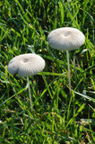 Weiße Pilze im Gras Stockfotos