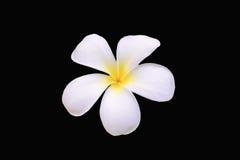 Weiße Plumeria-Blume Lizenzfreies Stockbild
