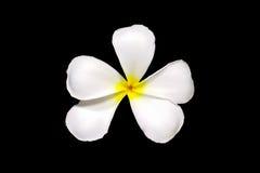 Weiße Plumeria Frangipaniblumen lokalisiert auf schwarzen Hintergrund leelawadee Blumen lokalisiert auf schwarzem Hintergrund Stockfoto