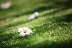Weiße Plumeria- oder Leelawadee-Blume Lizenzfreie Stockfotos