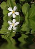 Weiße Plumeria-Reflexionen lizenzfreies stockbild