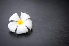 Weiße Plumeriablume auf Hintergrund lizenzfreies stockbild