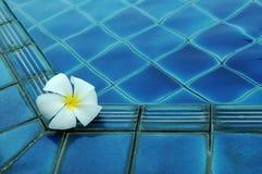 Weiße Plumeriablume auf Pool Stockfotografie