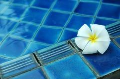 Weiße Plumeriablume auf Pool Stockfoto