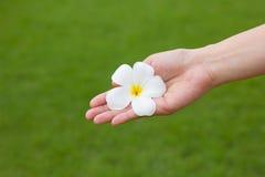 Weiße Plumeriablume in der Hand Lizenzfreie Stockfotos