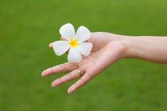 Weiße Plumeriablume in der Hand Lizenzfreies Stockfoto